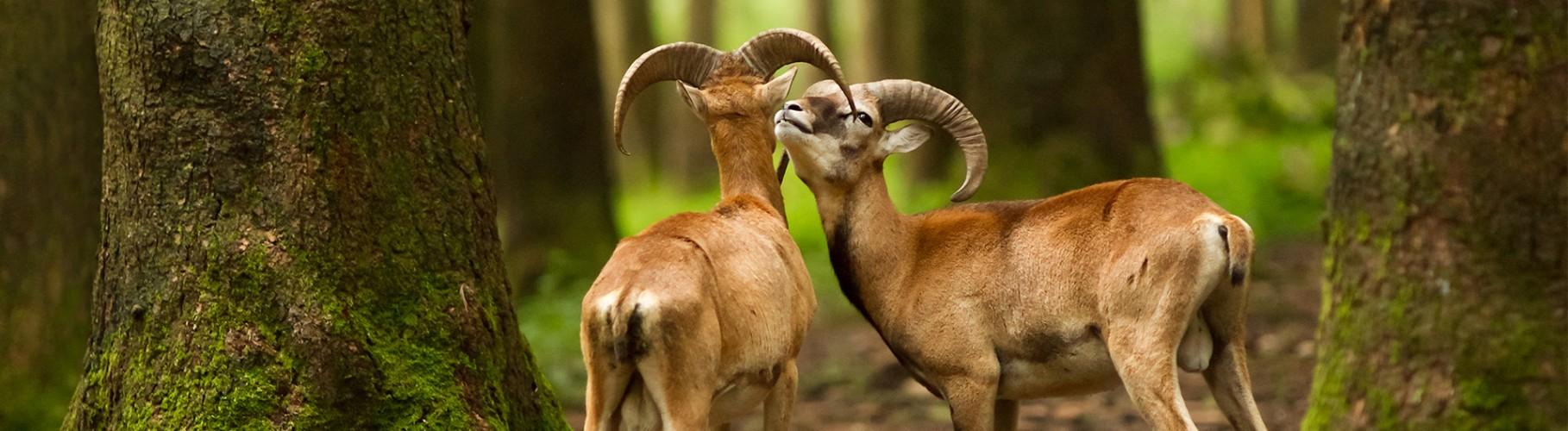Lov na muflona